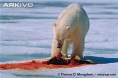 seal carcass eaten by bear - Google Search Arctic Landscape, Polar Bears, Seal, Animals, Google Search, Photos, Animales, Pictures, Animaux