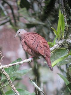 Ruddy Ground-Dove (Columbina talpacoti) Doradal, Antioquia, Colombia