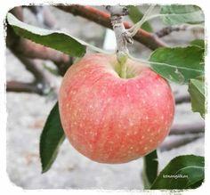 Elma / Apple