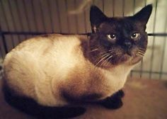 ADOPTED. Meet C-62890 Bailey (in foster), a Petfinder adoptable Siamese Cat | Mount Holly, NJ | Beautiful blue eyed Bailey arrived as a stray from Mount Holly. Bailey wonders why he is without a...