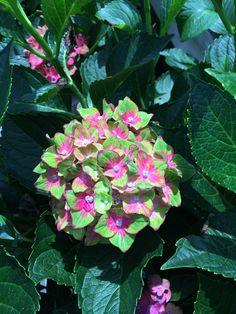 Hydrangea 'Picasso' Hortensia Hydrangea, Hydrangea Macrophylla, Hydrangeas, Potted Plants, Container Gardening, Shrubs, Eye Candy, Picasso, Flowers