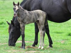 """Born May 23, 2014 this is a filly by KT Gunpowder N Lead and out of Wright on Sugarnic, """"Stinger.""""' She is yellow and black and is a brindle with a partial buckskin face."""