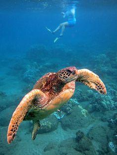 Snorkeling on Maui is a fun thing to do!    http://www.amauiblog.com/maui-turtle-snorkeling-heaven/   Hanakaoo