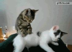 Gif avatar Animaux Chats Un chat fait un massage à un autre chat