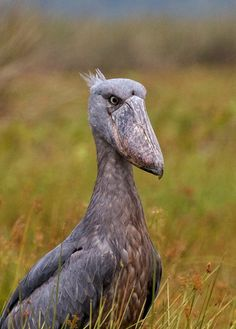 Shoebill Stork - Lake Victoria Uganda.  It looks like someone pranked a bird with big mask!