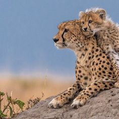 Cheetah cubs, cute baby animals, animals and pets, wild animals, cheetah ph Cheetah Cubs, Cheetah Animal, Animals And Pets, Baby Animals, Cute Animals, Wild Animals, Beautiful Cats, Animals Beautiful, Big Cats