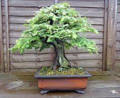 bonsai-dawn-redwood.jpeg (800×659) #bonsaitrees