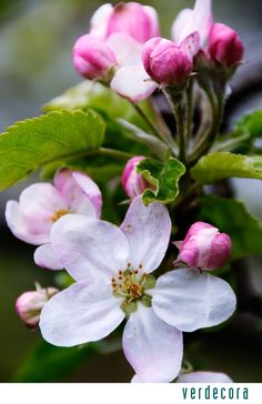 How to identify spring blossom Apple Blossom Flower, Spring Blossom, Apple Tree Blossoms, Flower Fairies, Flower Art, Cactus Flower, Exotic Flowers, Beautiful Flowers, Purple Flowers