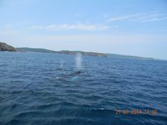 3 Humpbacks in Bay of Bulls - the turquoise is the white belly of one of them in the sun