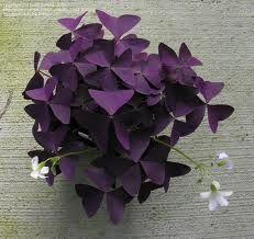 oxalis purple clover - I have a healthy little green oxtail at home.... I think I need a purple one too!