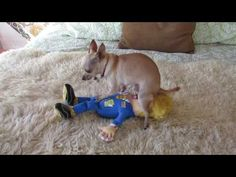 Chihuahua humps trump. Our Chihuahua protests Trump in her own way. Our dog was caught humping Donald Trump doll the other day and now the video has gone vir...