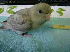 baby lineolated parakeet