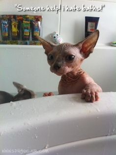 Admin's Soup of the Day! 1.29.15 http://sphynxlair.com/community/threads/admins-soup-of-the-day-1-29-15.30467/ #sphynx #sphynxcat #sphynxlair