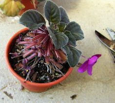 clipped leaves of African Violet