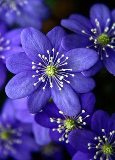 Blue Hepatica blooms
