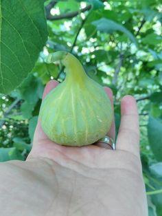 Green Fig (ficus carica)