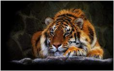 Wild Cat Tiger Wallpaper | wild cat tiger wallpaper 1080p, wild cat tiger wallpaper desktop, wild cat tiger wallpaper hd, wild cat tiger wallpaper iphone