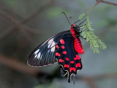 Crimson Rose, Pachliopta hector, a beautiful butterfly of the Swallowtail family (Papilionidae) native to India.