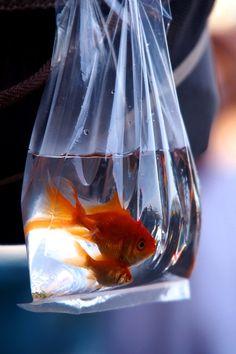 Japanese goldfish, Kingyo 金魚