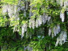 Glicynia chińska Wisteria, Garden Design, Herbs, Plants, Gardening, Home Decor, Decoration Home, Room Decor, Lawn And Garden