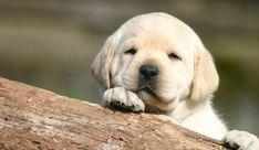 Great advice regarding buying a Labrador puppy online.