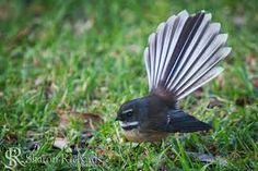 Piwakawaka - a bird from New Zealand New Tattoos, Tatoos, Kiwiana, Bird Art, Amazing Nature, Beautiful Birds, Animal Photography, Tattoo Inspiration, Art Lessons