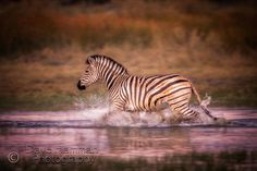 Dave Hamman Photography African wildlife images as fine art prints on a fine art canvas or a fine art paper. wildlife photos Chitabe camp in Botswana Zebra Crossing, Okavango Delta, Unique Colors, Wildlife Photography, Fine Art Paper, Safari, Fine Art Prints, Canvas Art, African