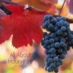 Mourvèdre (also known as Mataró or Monastrell) is a red wine grape variety that is grown in many regions around the world. Check out more exciting facts about this by clicking this photo.  #RODwine #rodwineco #grapes