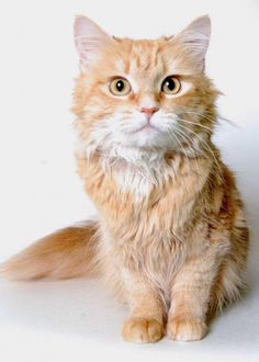 Hello! My name is Rosie. I am a beautiful 2-year-old long hair cat. I am a calm, friendly girl. I am curious and like to keep an eye on everything that's going on. I would make a wonderful loyal companion. Come meet me at the APL!