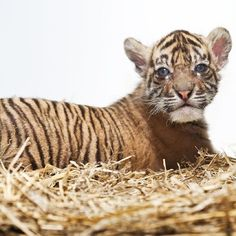 """This Sumatran Tiger Cub is Third Generation of Zoo Praha's Tiger """"Dynasty"""". Sumatran Tigers are in peril in their native home in Sumatra, Indonesia. Fewer than 400 of these cats are thought to remain in the wild, clinging to isolated patches of intact rainforest. Via @ZooBorns #tiger #cub #sumatra #indonesia #endangered #cute"""