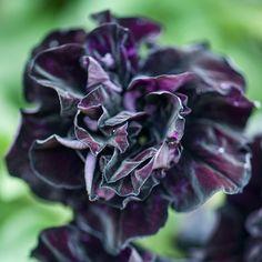 Petunia 'Black Night' - Annual Bedding Plants - Van Meuwen