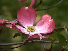 Flowering Dogwood Blooms : Pink Flowering Dogwood