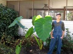 Elephant Ear Plant: Care, Planting, and Growing Tips