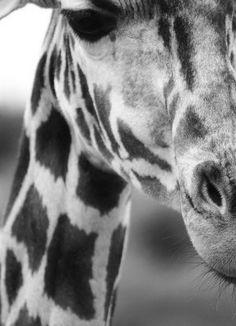 Foto kaart Giraf zwart-wit. Ansichtkaart van in zwart-wit gefotografeerde giraf. decoratie kinderkamer babykamer dieren giraffe jungle monochrome