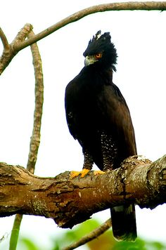Death is in the air - Here, a hawk that is known in Brazil as 'Gavião-pega-macaco' (Spizaetus tyrannus)