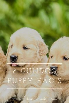From feeding and vaccinating to socialising we have eight answers to our most frequently asked gundog puppy questions. Interesting Information, Country Life, Fun Facts, Guns, Puppies, This Or That Questions, Top, Wtf Fun Facts, Weapons Guns