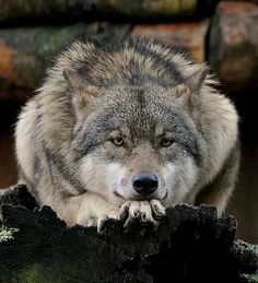 Pin by Almut Lange on Wolf Wolf Photos, Wolf Pictures, Animals Images, Funny Animals, Cute Animals, Beautiful Wolves, Animals Beautiful, Madara Wallpaper, Wolf Pup