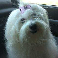 My beautiful Coton de Tulear Lunna Bella