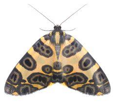 Die 119 Besten Bilder Von Motten Butterflies Beautiful