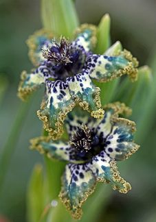 Ferraria crispa...LOVE this! Reminds me of blue and white transferware!