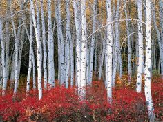Aspen Forest, Wasatch Mountains, Utah