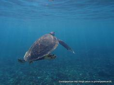 アオウミガメ Green turtle  Chelonia mydas