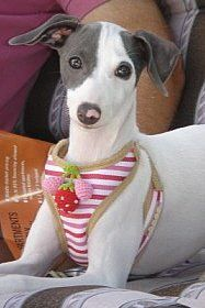 Italian Greyhound looking cute...they are very good at that!