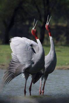 Sarus Crane (Grus antigone) Courtship Display by Ajay Parmar Tropical Birds, Exotic Birds, Colorful Birds, All Birds, Birds Of Prey, Love Birds, Pretty Birds, Beautiful Birds, Australian Birds
