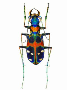 Beetle Insect, Beetle Bug, Insect Art, Minibeast Art, Insect Orders, Instalation Art, Cool Bugs, Beautiful Bugs, Bugs And Insects
