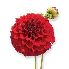 Big, Bold, Beautiful Dahlias: David George Dahlia