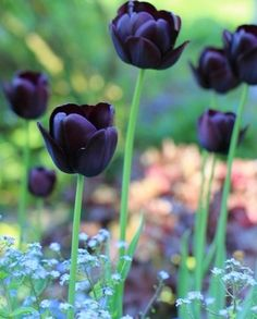 'Queen of Night' Tulip