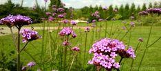 Top 10 bylin wieloletnich najdłużej kwitnących - Roslinowo.pl Verbena, Plants, Gardening, Tops, Lawn And Garden, Plant, Planets, Horticulture