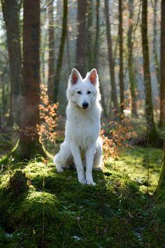 White German Shepherd #germanshepherd
