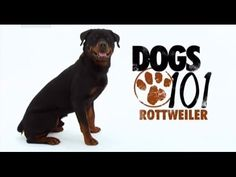"""The Rottweiler /ˈrɒtwaɪlər/ is a large size breed of domestic dog. The dogs were known as """"Rottweil butchers' dogs"""" (German: Rottweiler Metzgerhund) because . Rottweiler Facts, Rottweiler Breed, Big Dogs, I Love Dogs, Dogs And Puppies, Doggies, Doberman Pinscher, Puppy Quotes, Dogs"""